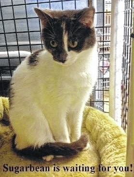 Pretty Sugarbean is waiting for a good forever home. She is a quiet girl who would love to be your pal. She is up to date on her shots and spayed. She has been wormed and she tested negative for feline leukemia. She is litter box trained. Come visit her at the Paws Animal Shelter, 1535 W. U.S. Route 36, Urbana. You can also check us out on Facebook at www.facebook.com/paws.urbana. Our hours are noon until 5 pm Tuesday through Friday. Saturday noon until 4 pm, closed Sunday and Monday. Phone 937-653-6233.