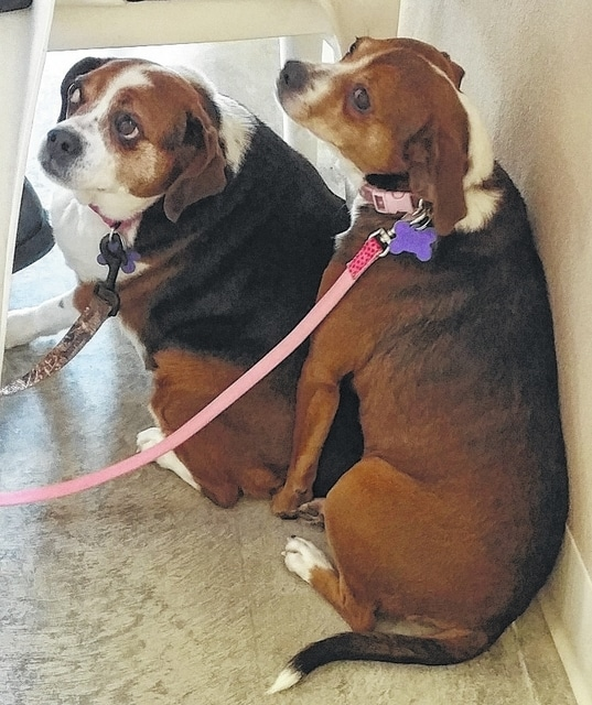 """Hi! I'm Dixie"" and ""I'm Pixie."" These are our little puggle girls. They are about 3 years old. Dixie : ""Look, I know I'm a little bigger than my friend here. But I'm not fat, I am just fluffy. I just think I have a little more to love on. I'm kind of shy and I stay back a little when Pixie runs up to people and talks with them. It takes a little bit for me to come out of my shell, but I love to be loved on. You just have to come to me and let me know it's alright. I really am a good girl and so much want for both of us to be able to stay together because we really love each other. Won't you think about us and find a warm spot on the rug by the fireplace where we can curl up? You could get on the floor and we will give you so many kisses that you will have to take a kiss break and then come back for more!"" Pixie : "" My friend is shy, but she is so sweet. I am more outgoing. I will run up to you and ask for lots of kisses and rubs. Dixie stays behind me until she knows it's OK. I usually tell her to come on over, but when she is with me everything is alright. I love my friend Dixie and we need each other. So please open your home and your heart for us. I promise that if you take us both together that I'll squeeze myself real close to Dixie so it will be kind of like have one big dog. We are a two-for-one love bug deal! We are both just learning about leashes and it will take just a little time for us, but we are trying the best we can. Please, please come out and love on us and maybe you will have to take us home with you. We will love you back so much you will never regret making us part of your family."" Pixie says, ""We were a little shy in our picture. It was our first time on our leashes."" Please visit our website, www.barelyusedpets.com. Also, like us on Facebook at Barely Used Pets Rescue (put spaces between the words). Barely Used Pets is at our new location of 844 Jackson Hill Road in Urbana. You can give us a call at 937-869-8090. We are open Sunday 1-4pm, Wednesdays and Thursdays 10am-6pm, Fridays 10am - 5pm, and other days by appointment. We can always use donations and they are all of those basic supplies that we use so quickly. We need paper towels, Clorox, Dawn dish soap (original), and laundry soap. We can also use the elevated pet beds by Kuranda (go to kuranda.com). Any donations are always appreciated. Please take a look at our website for other ideas for donations. Thanks so much for considering us and helping Barely Used Pets help me and my friends find our forever homes."