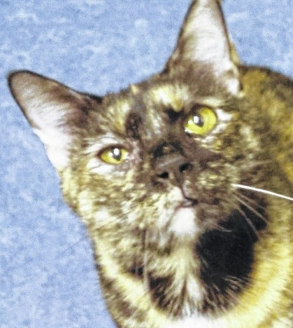 Kettle is definitely a sweetheart! She would be the purr-fect Valentine! Give her a chance and she will easily win your heart. Kettle is an attractive, tortoiseshell colored cat with adorable markings. She was rescued after being abandoned. Kettle was nervous when she first came to the shelter. She has blossomed into the most loving and affectionate kitty ever! All she needed was attention and a little bit of time to come out of her shell. Kettle likes to be held and will give you kisses. She would like to come home with you and be your forever friend. Kettle likes to sit on your lap or just hang out with you. She has a great purr and enjoys playing with toys. She is up to date on her shots and spayed. She is litter box trained and she tested negative for feline leukemia. Kettle is ready for her forever family. Stop by Paws Animal Shelter located at 1535 W. U.S. Route 36, Urbana, OH 43078 or call Paws Animal Shelter at 937-653-6233. The Shelter hours are Tuesday-Friday 12-5 p.m., Saturday 12-4 p.m., Sunday and Monday-closed. You can email us at pawsurbana@hotmail.com. Visit us at www.facebook.com/paws.urbana. There are many wonderful cats, adorable kittens and fun-loving dogs at the shelter waiting for good homes. Paws Animal Shelter needs donations of Purina Kitten Chow, Purina Complete Cat Chow, Purina Dog Chow and Purina Puppy Chow. We also could use donations of bleach, laundry detergent and clumping cat litter. Paws Animal Shelter is a no kill shelter. We are a nonprofit organization that operates only by donations. We do not receive any city, county or state funding. We depend on public donations and our adoption fees to run the shelter. Please consider making a donation to help fund our shelter. We are always looking for volunteers to come to the shelter and help out. You could play with the cats or dogs to help socialize them.