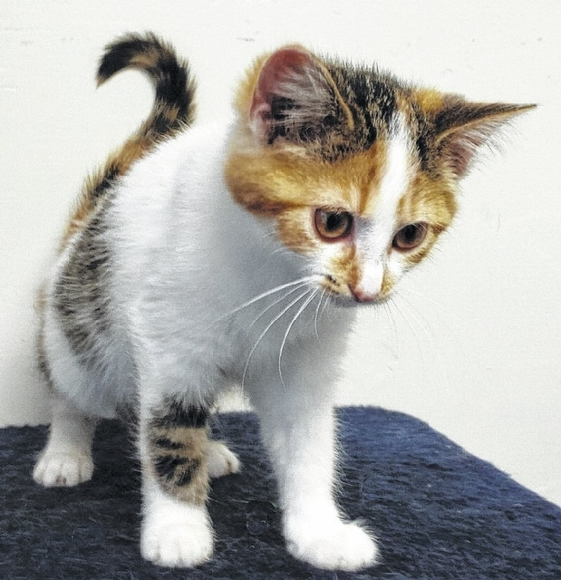 Daisy is an adorable kitten looking for a good home. She is a sweet calico girl with wonderful markings. Little Daisy likes people and will easily win your heart. She is a precious kitten who likes to play. Her best friend and playmate is Clyde. Clyde is a handsome tiger and white male kitten. Consider adopting two kittens for double the fun! They will be the purr-fect pets. Both kittens are up to date on their shots and will have spay or neuter certificates when adopted. They are litter box trained and tested negative for feline leukemia. Come visit Paws Animal Shelter and adopt little Daisy and her pal Clyde. Stop by Paws Animal Shelter, located at 1535 West US Highway 36, Urbana, Ohio 43078, or call Paws Animal Shelter at 937-653-6233. The Shelter hours are Tuesday-Friday 12-5 p.m., Saturday 12-4 p.m., Sunday and Monday-closed. You can email us at pawsurbana@hotmail.com. Visit us at www.facebook.com/paws.urbana. There are many wonderful cats, adorable kittens and fun-loving dogs at the shelter waiting for good homes. Paws Animal Shelter needs donations of Purina Kitten Chow, Purina Complete Cat Chow, Purina Dog Chow and Purina Puppy Chow. We also could use donations of bleach, laundry detergent and clumping cat litter. We are a nonprofit organization that operates only by donations. We do not receive any city, county or state funding. We depend on public donations and our adoption fees to run the shelter. Please consider making a donation to help fund our shelter. We are always looking for volunteers to come to the shelter and help out. You could play with the cats or dogs to help socialize them.