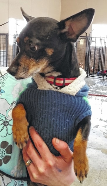 Hi! My name is Charlie and I am a Chihuahua mix boy. I am 3-1/2 years old and weigh 12 lbs. I am really a nice guy, but I need to be with a family that doesn't have small children. I just want to snuggle up on the sofa with you and watch a little football. Won't you please take me home and put a fluffy little pillow on the sofa for me? I promise not to take the remote control and to cheer for whatever team you want me to. Please tell the people here that I am yours. Please visit our website: www.barelyusedpets.com. Also, like us on Facebook at Barely Used Pets Rescue (put spaces between the words). Barely Used Pets is at our new location of 844 Jackson Hill Road in Urbana. You can give us a call at 937-869-8090. We are open Sunday 1-4pm, Wednesdays and Thursdays 10am-6pm, Fridays 10am - 5pm, and other days by appointment. We can always use donations and they are all of those basic supplies that we use so quickly. We need paper towels, Clorox, Dawn dish soap (original), and laundry soap. We can also use the elevated pet beds by Kuranda (go to kuranda.com). Any donations are always appreciated. Please take a look at our website for other ideas for donations. Thanks so much for considering me and helping Barely Used Pets help me and my friends find our forever homes.