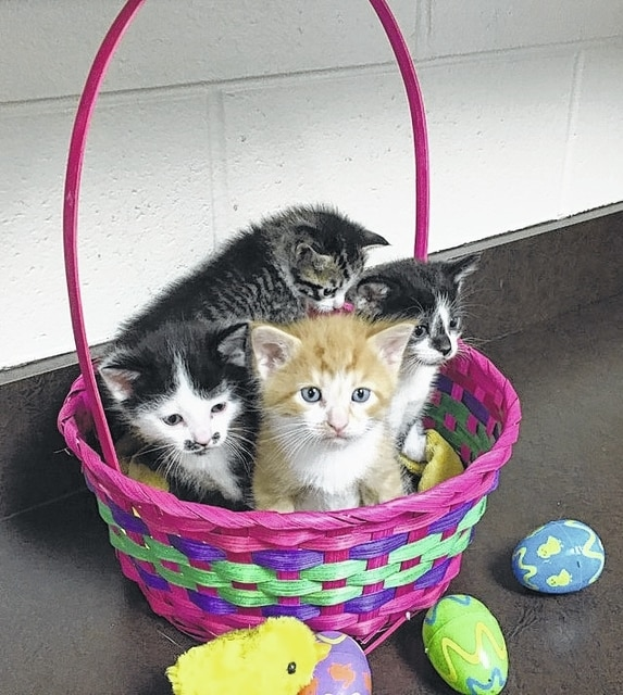 It is the day before Easter and Paws has an Easter Basket full of cute kittens waiting to be adopted. Their mother, Evelyn, is a beautiful calico cat who came to Paws with her four kittens. They will be ready for adoption about April 8, so get your applications in fast. The adorable kittens like people and will climb all over you and into your heart. They are precious kittens who like to play. Elisabeth is the darling black and white female with a diamond on her nose. Harpo is the black and white male with the adorable mustache. Delilah is the pretty tiger female with white legs. Groucho is the handsome male yellow and white tiger. Consider adopting two kittens for double the fun! They will be the purr-fect pets. The kittens will have their shots and spay or neuter certificates when adopted. They are litter box trained. Stop by Paws Animal Shelter, 1535 West US Highway 36, Urbana, Ohio 43078 or call Paws Animal Shelter at 937-653-6233. The Shelter hours are Tuesday-Friday 12-5 p.m., Saturday 12-4 p.m., Sunday and Monday-closed. You can email us at pawsurbana@hotmail.com. Visit us at www.facebook.com/paws.urbana. There are many wonderful cats, adorable kittens and fun-loving dogs at the shelter waiting for good homes. Paws Animal Shelter needs donations of Purina Kitten Chow, Purina Complete Cat Chow, Purina Dog Chow and Purina Puppy Chow. We also could use donations of bleach, laundry detergent, 39 gallon trash bags and clumping cat litter. We are a nonprofit organization that operates only by donations. We do not receive any city, county or state funding. We depend on public donations and our adoption fees to run the shelter. Please consider making a donation to help fund our shelter. We are always looking for volunteers to come to the shelter and help out. You could play with the cats or dogs to help socialize them.