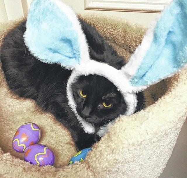 "It is almost Easter. You had better ""hop to it"" and adopt adorable Midnight. You can tell how quiet and laid back she is by how she let herself be adorned with silly Easter Bunny ears for her photo. Midnight is a pretty girl with long black fur that is as soft as a bunny. She is a charming girl who is good-natured and is looking for someone to take naps with, cuddle with, and play with. She is up to date on her shots and is spayed. She tested negative for feline leukemia and is litter box trained. Adopt this sweet cat and you will have a pal for life. Stop by Paws Animal Shelter, 1535 West US Highway 36, Urbana, or call Paws Animal Shelter at 937-653-6233. The Shelter hours are Tuesday-Friday 12-5 p.m., Saturday 12-4 p.m., Sunday and Monday-closed. You can email us at pawsurbana@hotmail.com. Visit us at www.facebook.com/paws.urbana. There are many wonderful cats, adorable kittens and fun-loving dogs at the shelter waiting for good homes. Paws Animal Shelter needs donations of Purina Kitten Chow, Purina Complete Cat Chow, Purina Dog Chow and Purina Puppy Chow. We also could use donations of bleach, laundry detergent, 39 gallon trash bags and clumping cat litter. We are a nonprofit organization that operates only by donations. We do not receive any city, county or state funding. We depend on public donations and our adoption fees to run the shelter. Please consider making a donation to help fund our shelter. We are always looking for volunteers to come to the shelter and help out. You could play with the cats or dogs to help socialize them."