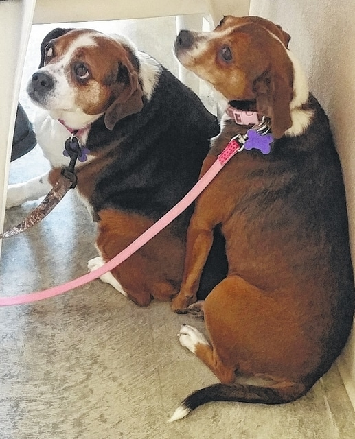 "Hi! ""I'm Dixie"" and ""I'm Pixie."" We are Puggle girls. We are about 3 years old. Dixie : ""Look, I know I'm a little bigger than my friend here. But I'm not fat, I am just fluffy. I just think I have a little more to love on. I'm kind of shy and I stay back a little when Pixie runs up to people and talks with them. It takes a little bit for me to come out of my shell, but I love to be loved on."" Pixie: ""My friend is shy, but she is so sweet. I am more outgoing. I will run up to you and ask for lots of kisses and rubs. Dixie stays behind me until she knows it's OK. I usually tell her to come on over, but when she is with me everything is alright. I love my friend Dixie and we need each other. So please open your home and your heart for us. I promise that if you take us both together that I'll squeeze myself real close to Dixie so it will be kind of like have one big dog. We are a two-for-one love bug deal! I was told people want to know what we weigh. Really? Do not let Dixie know I told you, but she weighs about 35 lbs. and I am about 25 lbs. She is sensitive about it, so just keep that secret for now."" Pixie says ""We were a little shy in our picture…it was our first time on our leashes."" These girls are beyond sweet and they need a loving family to go home to. Won't you please come and see them? People say they pass Dixie by because she just stays way back while Pixie comes to them. Please understand that Dixie is just scared and shy. Please don't let that make you pass her by again. They watch as all of the others who look more ""ready to go home"" get their new homes and each time the people leave they say ""maybe tomorrow."" Let's make tomorrow today and give these girls the love they so much deserve. Open your heart for these love bugs. With Pixie's help, Miss Dixie will give you more love than you can ever imagine. Please visit our website: www.barelyusedpets.com. Also, like us on Facebook at Barely Used Pets Rescue (put spaces between the words). Barely Used Pets is at our new location of 844 Jackson Hill Road in Urbana. You can give us a call at 937-869-8090. We are open Sunday 1-4pm, Wednesdays and Thursdays 10am-6pm, Fridays 10am - 5pm, and other days by appointment. We can always use donations and they are all of those basic supplies that we use so quickly. We need paper towels, Clorox, Dawn dish soap (original), and laundry soap. We can also use the elevated pet beds by Kuranda (go to kuranda.com). Any donations are always appreciated. Please take a look at our website for other ideas for donations."