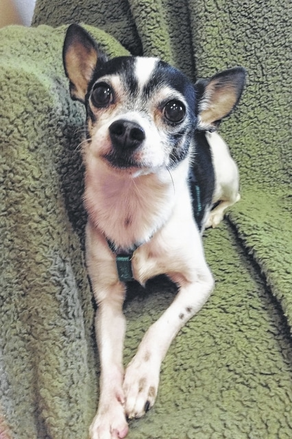 """Meet sweet little Chip, a 6-year-old Chihuahua. He is a little """"chip"""" of a dog weighing in at four and a half pounds. Chip likes people and does well with children. As with all dogs, small children should be supervised at all times when interacting with any animal. Chip seems to be indifferent around cats and with other dogs he has met. He was released to us because his owner has serious health issues and could no longer care for him. Chip would appreciate a patient owner who would work with him on his house-training skills. As with all Champaign County Animal Welfare League (CCAWL) pets, Chip is completely vetted. Included in the $130 adoption donation is spaying/neutering, vaccinations including rabies, worming, heart-worm testing and treated with flea and heart-worm prevention. CCAWL adopted dogs also come micro-chipped and have their 2016 dog license and dental cleaning. Please come by and visit Chip or any of our other pets at CCAWL. You may reach us by calling 937-834-5236. We are located at 3858 SR 56, Mechanicsburg, OH, 43044. Our hours are Monday, Wednesday, Thursday, Friday and Saturday, 10:00 am until 4:00 pm. We are closed Tuesday and Sunday. If later hours are needed, appointments are available. Dog and cat applications may be found online at www.champaigncountyanimalwelfareleague.com. You may fax an adoption application to 937-834-5171. A complete listing of our available pets may be found at petfinder.com and adoptapet.com. In an effort to help with the feral cat problem, the Champaign County Animal Welfare League's TNR Task Force is sponsoring a no cost, trap, neuter and return """"TNR"""" blitz in St. Paris on Tuesday, May 3rd. Feral cats will be sterilized, vaccinated, wormed and flea treated on May 4 at the CCAWL clinic and returned back to their location on May 5. We would appreciate you keeping your personal cat inside during the trapping on Tuesday. Trapping """"TNR"""" will continue weekly for as long as it takes to get the feral cat population sterilized"""