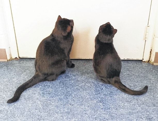 Martin and Samara are two friendly black cats patiently waiting at the door for someone to adopt them. Their former owner adopted the brother and sister from Paws about two years ago. Their owner recently had to move to an assisted living place and was heartbroken not to be able to take the two sweet cats. Martin and Samara miss their former home and hope that someone will fall in love with both of them and adopt them. Martin and Samara have wonderful personalities and they love to play. They enjoy all sorts of kitty toys and napping in the cat tower. If you are looking for faithful companions then Martin and Samara would be ideal pets! They are both quiet and gentle cats who like attention. They are up to date on their shots. Martin is neutered and Samara is spayed. They tested negative for feline leukemia and are litter box trained. Please give these two adorable cats a good forever home! S Stop by Paws Animal Shelter located at 1535 W. U.S. Route 36, Urbana, OH 43078 or call Paws Animal Shelter at 937-653-6233. The Shelter hours are Tuesday-Friday 12-5 p.m., Saturday 12-4 p.m., Sunday and Monday-closed. You can email us at pawsurbana@hotmail.com. Visit us at www.facebook.com/paws.urbana. There are many wonderful cats, adorable kittens and fun-loving dogs at the shelter waiting for good homes. Paws Animal Shelter needs donations of Purina Kitten Chow, Purina Complete Cat Chow, Purina Dog Chow and Purina Puppy Chow. We also could use donations of bleach, laundry detergent, 39-gallon trash bags and clumping cat litter. We are a nonprofit organization that operates only by donations. We do not receive any city, county or state funding. We depend on public donations and our adoption fees to run the shelter. Please consider making a donation to help fund our shelter. We are always looking for volunteers to come to the shelter and help out. You could play with the cats or dogs to help socialize them.