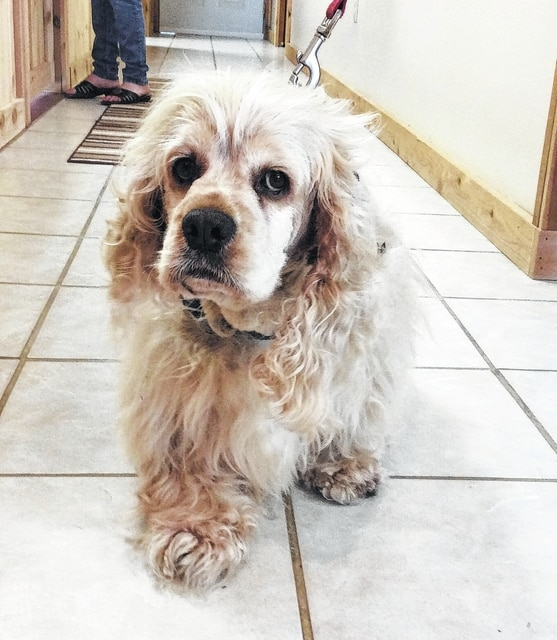 "Eeyore is a buff-colored, pure-bred Cocker Spaniel. He is 4 years old and quite a beauty. Eeyore is a former puppy mill dog, but in spite of his former life, he is a happy, relaxed boy who loves everybody. He gets along very well with other dogs and his laid-back, carefree attitude indicates that he is fine with cats. Eeeyore is treat-motivated and learns very quickly. He would be a wonderful pet for the person willing to help him refine his house-training skills. As with all Champaign County Animal Welfare League (CCAWL) pets, Eeyore is completely vetted before adoption. Included in the $130 adoption donation is spaying/neutering, vaccinations including rabies, worming, heart-worm testing and treated with flea and heart-worm prevention. CCAWL adopted dogs will come micro-chipped and have their 2016 dog license and dental cleaning. If you are interested in visiting Eeyore or any other of the adoptable pets at CCAWL, please call us at 937-834-5236. We are located at 3858 SR 56, Mechanicsburg, OH, 43044. Our hours are Monday, Wednesday, Thursday, Friday and Saturday, 10:00 am until 4:00 pm. We are closed Tuesday and Sunday. If later hours are needed, appointments are available. Dog and Cat adoption applications can be found online at www.champaigncountyanimalwelfareleague.com. You may fax an adoption application to 937-834-5171. A complete listing of our available pets may be found at petfinder.com and adoptapet.com. CCAWL has memberships available that will allow a member access to the many wooded trails, agility course and ponds on the 72 acres. CCAWL will also have a dog park, cemetery to spread ashes of deceased pets, several picnic areas and a track for those who do not or cannot walk the trails. Members also receive a 10 percent discount on all sterilizations as well as training classes offered. Volunteers are still needed for the continuing Trap, Neuter, Return (TNR) effort in St. Paris. Call if you would like to donate or volunteer. Sunday, May 15th, CCAWL will be participating in the Spring Health Fling event at the Clark County Fairgrounds in Springfield sponsored by the Pups Uniting People Society ""P.U.P.S."" Admission to the event is $10.00 for adults and children are free. Hours are from noon until 6:00 pm. Please visit our booth and see a few of our adoptable pets."