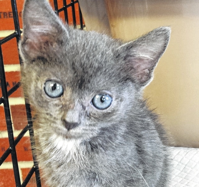 """My name is Gideon. I came to Paws Animal Shelter with my six brothers. I am the """"purr-fect"""" little, silly kitten that will make you smile. My gray and white fur is so very soft. I love to play and to be held. I know that we would have a """"meow-velous"""" time together. You may think that I have a big """"catitude"""" but I am just a tiny fellow looking for my forever home. I will have my shots and a neuter certificate when adopted. I am litter box trained. Get your adoption application in as soon as you can, so you don't miss out on me. I will be ready to go home near the end of May. Consider adopting me. I promise that I will be a """"paws-itively"""" delightful pet! Stop by Paws Animal Shelter, 1535 West US Highway 36, Urbana, Ohio 43078 or call Paws Animal Shelter at 937-653-6233. The Shelter hours are Tuesday-Friday 12-5 p.m., Saturday 12-4 p.m., Sunday and Monday-closed. You can email us at pawsurbana@hotmail.com. Visit us at www.facebook.com/paws.urbana. There are many wonderful cats, adorable kittens and fun-loving dogs at the shelter waiting for good homes. Paws Animal Shelter needs donations of Purina Kitten Chow, Purina Complete Cat Chow, Purina Dog Chow and Purina Puppy Chow. We also could use donations of bleach, laundry detergent, 39 gallon trash bags and clumping cat litter. We are a nonprofit organization that operates only by donations. We do not receive any city, county or state funding. We depend on public donations and our adoption fees to run the shelter. Please consider making a donation to help fund our shelter. This is puppy and kitten season. We often get in puppies or kittens with no mother. Consider fostering puppies or kittens. Sign up on our foster list. We are always looking for volunteers to come to the shelter and help out. You could play with the cats or dogs to help socialize them."""