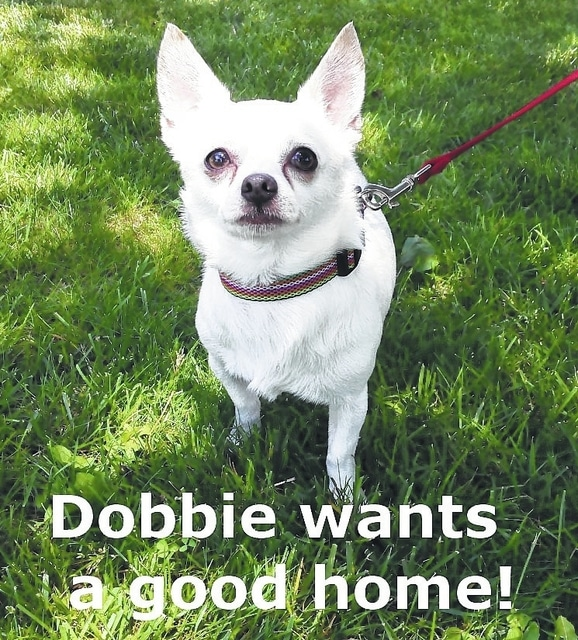 If looking for a cuddle-bug in a pint-sized body, Dobbie is the boy for you. He weighs 9 pounds and is 3 years old. He's a social boy who loves adults and children and gets along well with other smaller dogs and cats. He does not like big dogs and would not do well in a home with big dogs. He is house-trained and walks well on a leash. As with all Champaign County Animal Welfare League (CCAWL) pets, he is completely vetted before adoption. Included in the $130 adoption donation is spaying/neutering, vaccinations including rabies, worming, heart-worm testing and treatment with flea and heart-worm prevention. CCAWL adopted dogs are micro-chipped and have their 2016 dog license and dental cleaning. If interested in visiting Dobbie or any other of the adoptable pets, call us at 937-834-5236. We are located at 3858 state Route 56, Mechanicsburg, OH, 43044. Dog and cat adoption applications can be found at www.champaigncoanimalwelfareleague.com. You may fax an adoption application to 937-834-5171. A complete listing of available pets is at www.petfinder.com and www.adoptapet.com. The David Robert Wetzell Memorial Clinic has been up and operating for several weeks. Low-cost spaying and neutering is offered to the public. Low-cost vaccinations will be offered at least twice a year. Please call 937-834-5236 for further information and details. CCAWL is a non-profit and always appreciates donations of paper towels, kitten chow, bleach, cat toys, 6-inch paper plates (not plastic or foam), Clorox wipes and smaller Kroger/Wal-Mart plastic bags. Please feel free to stop by and check us out. We have many amazing things happening soon.