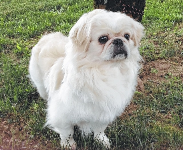 Jerry is a beautiful, white Pekingese, about 3 years old. He is with us because his previous owner passed away and he is looking for his new forever home. Jerry has decided that shelter life is not for him and would prefer being the only dog or the second dog in a loving family. He is somewhat shy around cats and poses no threat to them. Jerry loves children and adults and is house-trained as well as crate-trained. As with all Champaign County Animal Welfare League (CCAWL) pets, Jerry is completely vetted before adoption. Included in the $130 adoption donation is spaying/neutering, vaccinations including rabies, worming, heart-worm testing and treated with flea and heart-worm prevention. CCAWL adopted dogs are all micro-chipped and have their 2016 dog license and dental cleaning. If you are interested in visiting Jerry or any other of the adoptable pets at CCAWL, please call us at 937-834-5236. We are located at 3858 state Route 56, Mechanicsburg, OH, 43044. Dog and cat adoption applications can be found online at www.champaigncoanimalwelfareleague.com. You may fax an adoption application to 937-834-5171. A complete listing of our available pets may be found at www.petfinder.com and www.adoptapet.com. The David Robert Wetzell Memorial Clinic has been up and operating for several wee; we are offering low-cost spaying and neutering to the public. This clinic is for Low Cost Sterilizations. We will be offering Low Cost Vaccination Clinics at minimum twice a year. Please call 937-834-5236 for further information and details. The Champaign County Animal Welfare League is a non-profit organization and always appreciates donations of paper towels, kitten chow, bleach, cat toys, 6-inch paper plates (not plastic or foam), Clorox wipes and smaller Kroger/Wal-Mart plastic bags. If you haven't visited our new organization please feel free to stop by and check us out. We have many amazing things happening soon.