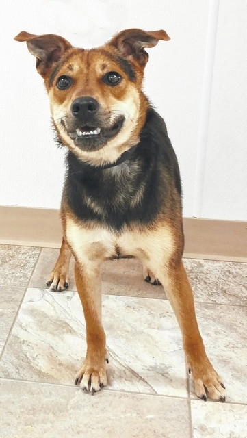 Hi! My name is Zip and I have had quite a journey so far. I am a Beagle/Shepherd mix boy and about 1 year old. I weigh 35 pounds. I was originally at the shelter in Bellefontaine and they were closing, so my guy adopted me, but the person who would have been there to take care of me got some health problems and my guy is leaving for college in a couple of months. So he brought me here hoping we can find me a really good forever home. I am a super friendly boy and promise to be the best boy you ever had. I love to run and play in the yard outside. Please, please, please….get them to let us go out and play. Then maybe you will want to take me home with you. I just want a family of my own to love on me. Please visit our website: www.barelyusedpets.com. Also, like us on Facebook at Barely Used Pets Rescue (put spaces between the words). Barely Used Pets is at our new location of 844 Jackson Hill Road in Urbana, Ohio. You can give us a call at 937-869-8090. We are open Sunday 1-4pm, Wednesdays and Thursdays 10am-6pm, Fridays 10am - 5pm, Saturdays 11am-2pm, and other days by appointment. We can always use donations and they are all of those basic supplies that we use so quickly. We need Lysol Lemon spray cleaner, paper towels, Clorox, Dawn dish soap (original), and laundry soap. We can also use the elevated pet beds by Kuranda (go to kuranda.com). Any donations are always appreciated. Please take a look at our website for other ideas for donations. Thanks so much for considering me and helping Barely Used Pets help me and my friends find our forever homes.