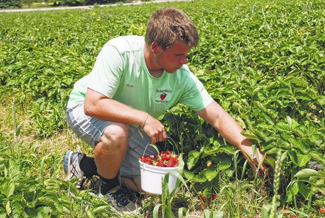 Steven Klingler of The Berry Patch, LLC is pictured harvesting strawberries over the weekend at his farm two miles west of West Liberty. The Berry Patch is located at 2451 state Route 245. Klingler said it's been a good season so far with a lot of berries and plenty of customers.