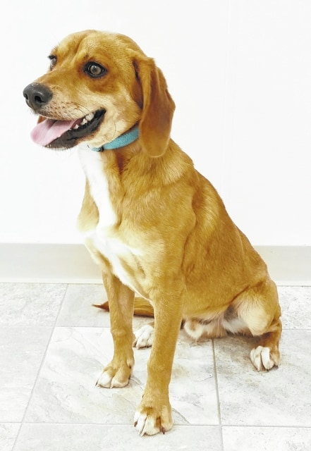 Hi! My name is Wesley and I am a hound mix boy. I am only 1-1/2 years old and weigh 35 pounds. I came here from another shelter, so I am a very gentle boy and just want a new forever person or family to love me. I don't bark much at all, so if you like a quiet dog, I'm your guy. Won't you please open your heart and your home for me? I promise to be a really good boy. Please visit our website: www.barelyusedpets.com. Also, like us on Facebook at Barely Used Pets Rescue (put spaces between the words). Barely Used Pets is at our new location of 844 Jackson Hill Road in Urbana, Ohio. You can give us a call at 937-869-8090. We are open Sunday 1-4 p.m., Wednesdays and Thursdays 10 a.m.-6 p.m., Fridays 10 a.m. - 5 p.m., Saturdays 11 a.m.-2 p.m., and other days by appointment. We can always use donations and they are all of those basic supplies that we use so quickly. We need Lysol Lemon spray cleaner, paper towels, Clorox, Dawn dish soap (original), and laundry soap. We can also use the elevated pet beds by Kuranda (go to kuranda.com). Any donations are always appreciated. Please take a look at our website for other ideas for donations. Thanks so much for considering me and helping Barely Used Pets help me and my friends find our forever homes.