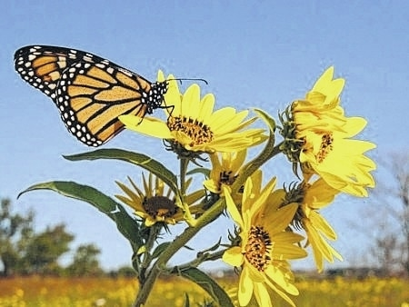 See woods, ponds and prairies, and prairie plant compadres like this monarch butterfly, in Farm Science Review's 67-acre Gwynne Conservation Area.