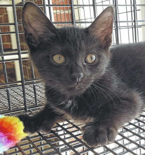 Charcoal is the featured pet at PAWS Animal Shelter