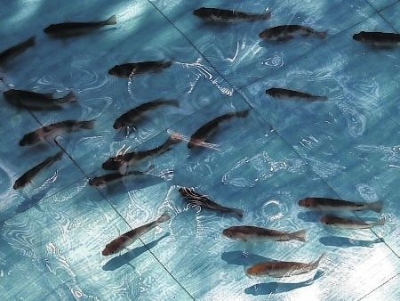 This image shows tilapia swimming in aquaculture. Aquaponics will be the subject of two talks during this year's Farm Science Review.
