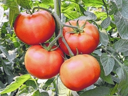 Homegrown tomatoes are tasty and have some benefits store-bought tomatoes lack, but frozen and canned tomatoes have their own benefits.