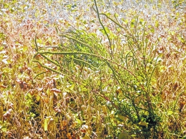 There are facilities that identify weeds and help with weed resistance, including the OSU Weed Science Lab. The Champaign Co. Extension Office can get samples of the weeds to the lab.