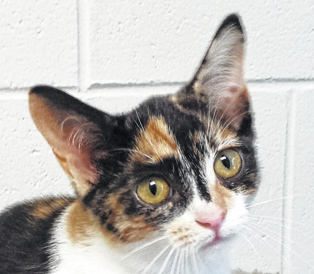 Jill, a calico kitty, is ready to be adopted at PAWS Animal Shelter.