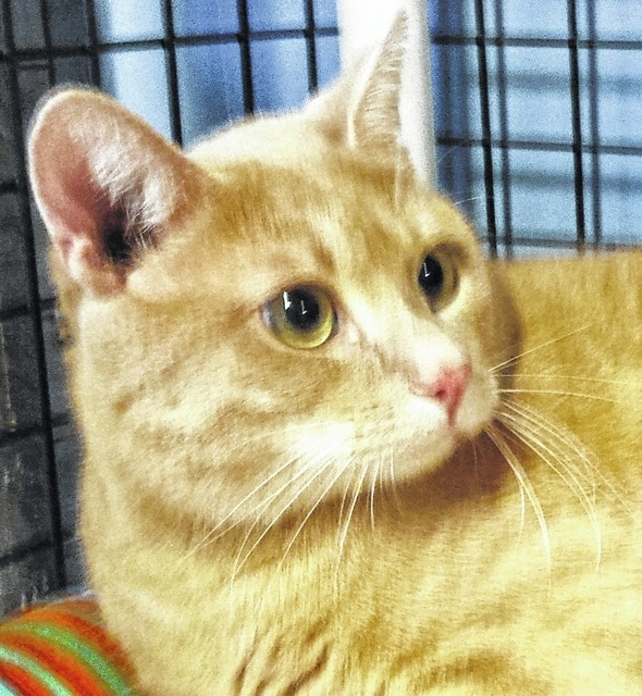 Sweet, quiet and with no front claws, Jasper would make a good indoor pet. Check him out at PAWS Animal Shelter.