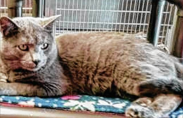 Sweet Sammy is an easy-going gray cat that gets along with other cats and may be perfect for the next person or family visiting PAWS Animal Shelter to find a feline friend.