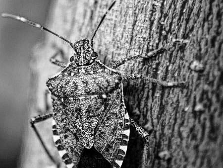 Stink bugs are being studied by researchers at OSU's CFAES who are examining the damage the bugs do and how to best manage them.