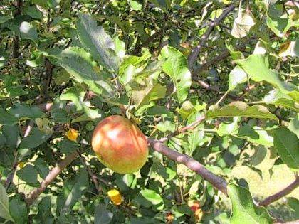 Known as the official state apple of Ohio, the Melrose apple tends to be large with good flavor and texture.