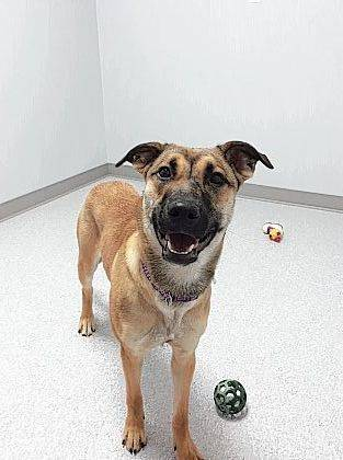 Playful Tag, a one-year-old German Shepherd mix, may be your new playmate. Check her out at the Champaign County Animal Welfare League.