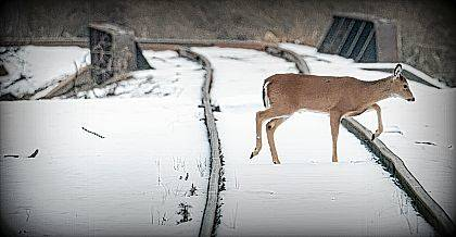 This deer steps cautiously across the snow-covered railroad tracks near James Avenue in Urbana this week. After a January thaw, the area is expected to be covered in a blanket of snow again within the week.