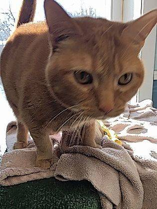 Playful and snuggly, 2 1/2-year-old Peaches awaits her new owner(s) to walk through the doors of PAWS Animal Shelter.