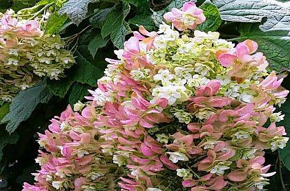 Join Eric Barrett, OSU Extension Educator, to learn about the world of hydrangeas. Discover which varieties will work best in your garden and landscape, and learn to care for and maintain a successful bed of hydrangeas. Workshop participants will receive a reference chart to use at the garden center and a hydrangea to take home. The program will be held March 1 from 6 to 7:30 p.m. in the county Community Center auditorium, 1521 S. U.S. Route 68, Urbana. Registration is $30 per person, and space and seating are limited. To register or learn more, call Champaign County Extension at 937-484-1526 or visit go.osu.edu/agevents.