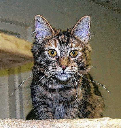 This lovely-marked kitten is 7 months old and her name is Sparrow. She's ready to be adopted from PAWS Animal Shelter.