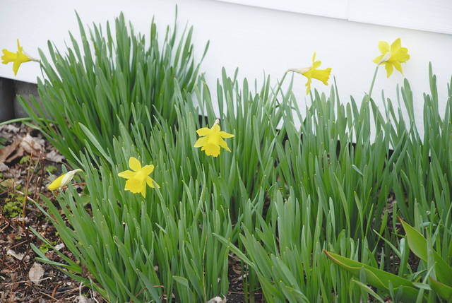 These daffodils are among the first in Urbana to bloom each spring. They are growing on the south side of Linda Clark's house on Finch Street, sheltered from the north wind and basking in southern sun angles. They are pictured prior to Tuesday night's storm, which covered all the area's spring bloomers in several inches of snow.