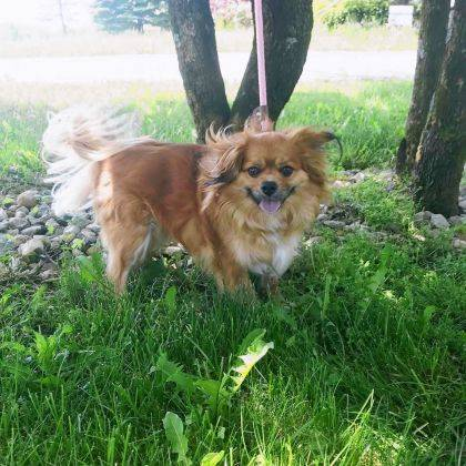 Little Boy, age 4, is a cute Pekingese who seems to get along with everyone. Maybe he'll be perfect for you. Pay him a call at the Champaign County Animal Welfare League.