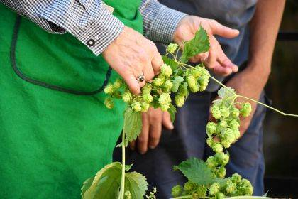 There is a lot to learn before embarking on hops production. OSU Extension is holding two workshops for those interested in learning the ropes.