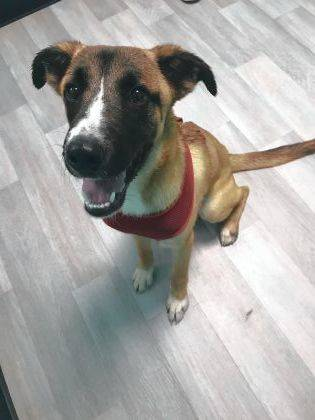 Brock, a friendly and energetic one-year-old Shepherd mix, eagerly awaits to be adopted from the Champaign County Animal Welfare League.