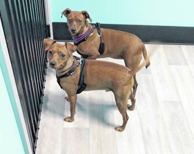 Siblings Devo and Zoey are devoted to one another and must be adopted together. Check them out at the Champaign County Animal Welfare League.