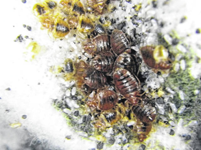 Here's a close-up look at adult bed bugs, their eggs and fecal spotting.