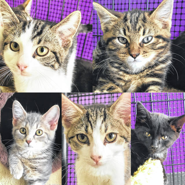 The Champaign County Animal Welfare League has neutered male and female 10- to 12-week-old kittens who need forever homes.