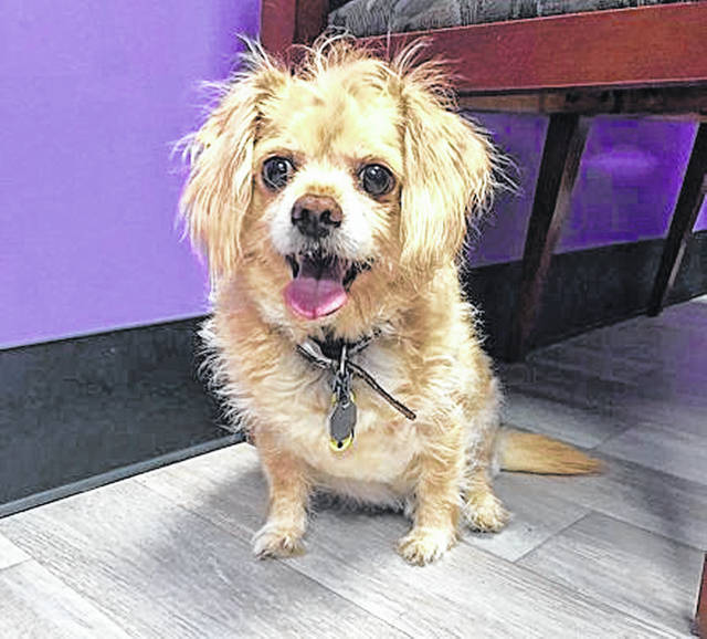 Sugar Babe is a youthful 10-year-old pooch whose owner died, so needs another loving person or family to adopt him from the Champaign County Animal Welfare League.