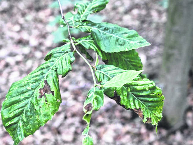 American beech leaf disease is killing trees in northeast Ohio as well as in Pennsylvania, New York and Ontario.