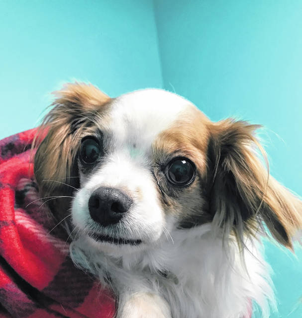 Sweet Brittany is a 5-year-old Spaniel mix waiting to be adopted from the Champaign County Animal Welfare League.