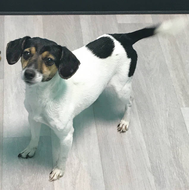 The CCAWL dog of the month is Casey, a fox terrier mix. Visit the CCAWL to meet Casey or another wonderful companion.