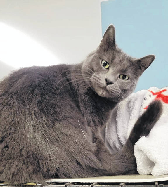 Smokey is a 2 1/2-year-old female cat currently living at PAWS Animal Shelter and ready for a person or family to call her own.