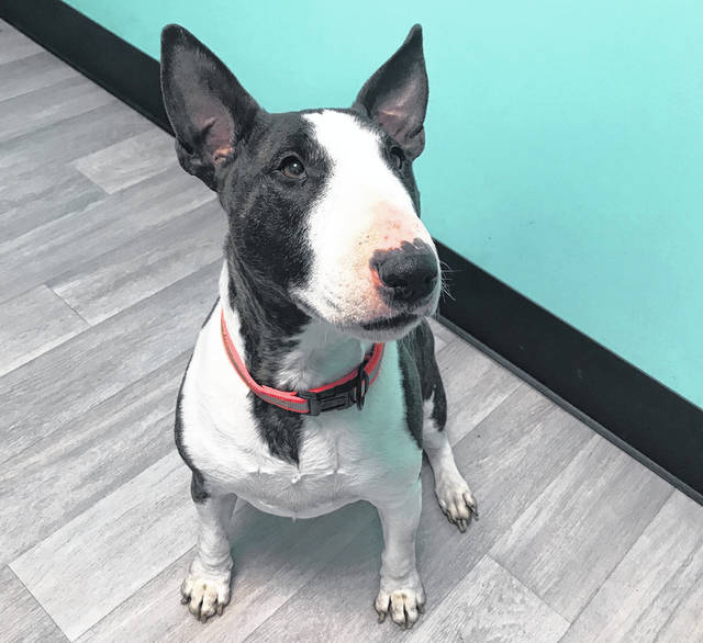 Enzo is a 4-year-old English Bull Terrier ready for adoption at the Champaign County Animal Welfare League.