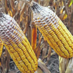 Spread of corn toxin may affect crop