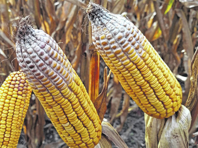 The fungal disease that contaminated corn in Ohio and across the Corn Belt in 2018 can survive through the winter, so it could impact next year's crop.
