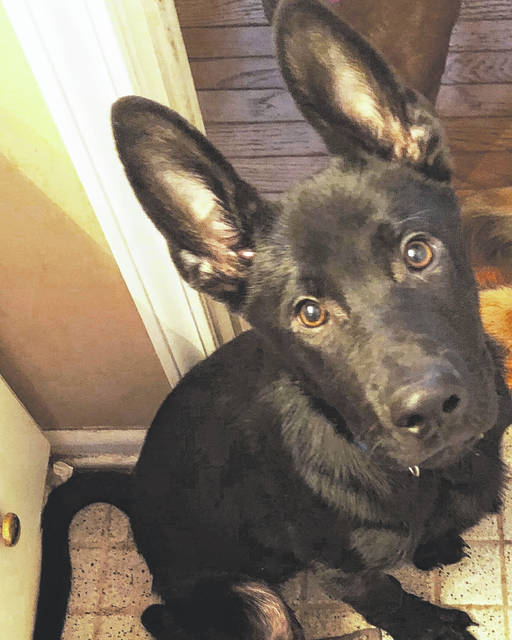 Meet Salvatore, 5 months old, at the Champaign County Animal Welfare League. You may find this German Shepherd-Chow mix a perfect fit for your household.