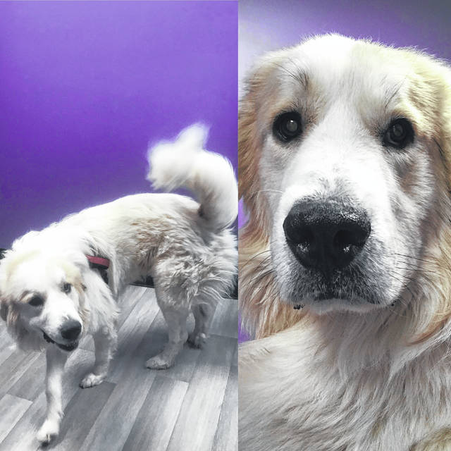 Two-year-old Noah is a gentle giant of a dog ready for adoption at the Champaign County Animal Welfare League.