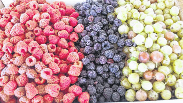 Red raspberries, black raspberries and gooseberries are grown at Champaign Berry Farm, located in Mutual.